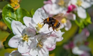 A buff-tailed bumble bee collects nectar from an apple tree. Swathes of American agriculture is propped up by honeybees.