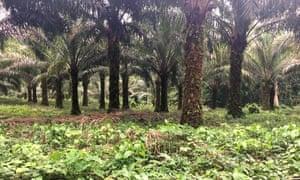 Boteka plantation in Équateur province, DRC
