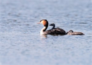 A great crested grebe with two chicks in Warwickshire, UK