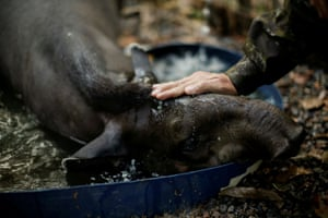 Marcelo Andreani, 40, a veterinarian of the state environmental police, touches a tapir's head after rescuing it from an illegal captivity, near Porto Velho, Rondonia State