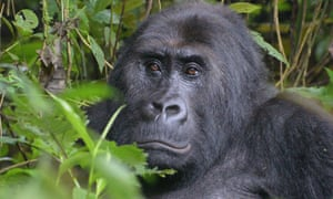 Numbers of Grauer's gorilla, the largest great ape, have plunged to less than 4,000.