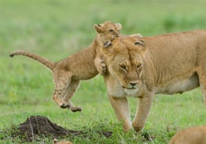 A lion cub plays with his mother in the southern Serengeti region, Tanzania.
