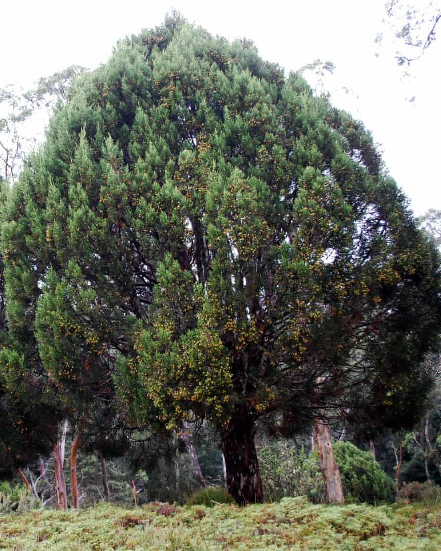 The shape of a pencil pine tree