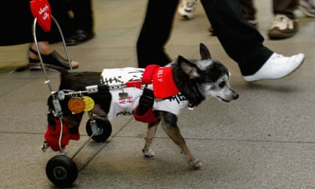 Wheely Willy the chihuahua.