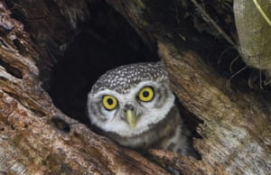 An Indian spotted owl looks out from its nest in a tree in Guwahati, India