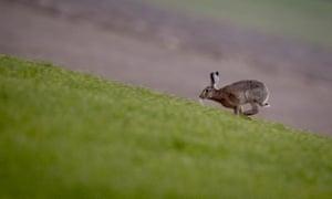 A hare runs over a field near Frankfurt, Germany.