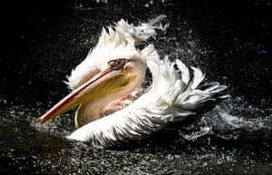 A great white pelican cools off at Dresden zoo in Germany