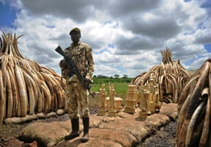 A Kenya Wildlife Services ranger stands guard next to a stockpile of elephant tusks and ivory figurines before their destruction