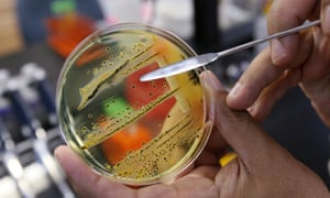 Salmonella, seen growing on a petri dish, is one of 12 antibiotic-resistant bacteria listed by the World Health Organisation as posing the greatest threat to human health.