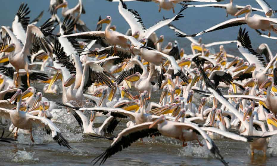 Great white pelicans flock
