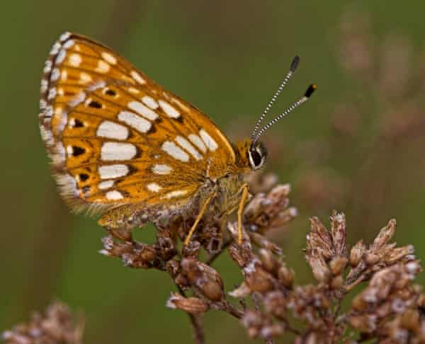 The Duke of Burgundy butterfly has made unexpected gains in recent years.