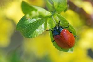 A poplar leaf beetle (Chrysomela populi) in Laekvere, Estonia