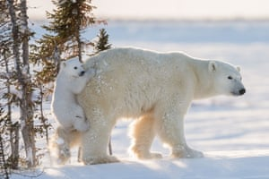 Hitching a ride by Daisy Gilardini (Switzerland) This female polar bear was resting with her two young cubs in Wapusk national park, Manitoba, Canada, when one cub got up and rushed downhill through the deep snow. The cub jumped on to her, holding on to her backside with a firm bite – totally unexpected and humorous behaviour.
