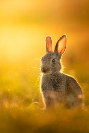 A lone rabbit enjoying a golden sunset over Richmond Park, London.