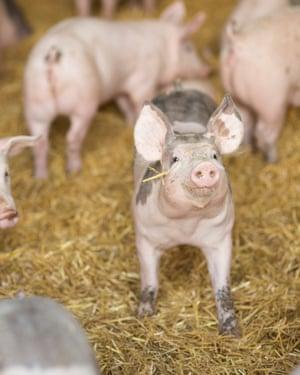 Pigs at David Owers' farm
