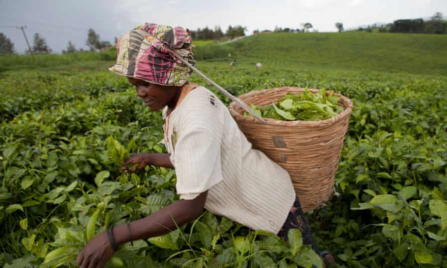 Workers harvest fresh tea leaves in the fields of Fort Portal, Uganda