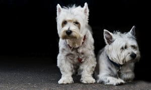 Two West Highland White Terriers