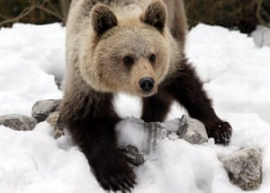 A young brown bear in Tatra national park, Poland