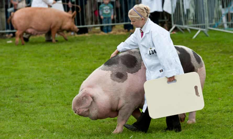 A Gloucester old spot at the Westmorland Show