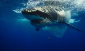 A great white shark near Guadalupe Island, Mexico: unprovoked shark attacks hit an all-time high in 2015.