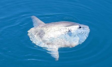 Ocean sunfish surfaces.