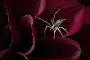 Hidden Britain: Waiting for her Prey (Nursery Web Spider), Dunchideock, Devon