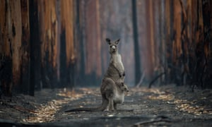 Not all affected animals were killed outright by flames or heat; starvation, dehydration and predation would also have played a part in the aftermath of the fires.