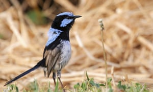 A fairy-wren. Scientists have discovered that birds can learn to recognise alarm calls of other species, essentially by learning to eavesdrop in a second language.