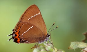 White-letter hairstreak, with distinctive letter W on its underside.