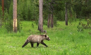 A two-year-old grizzly bear roams Yellowstone National Park in Wyoming in this 2006 picture. The park is home to more than 700 grizzlies.