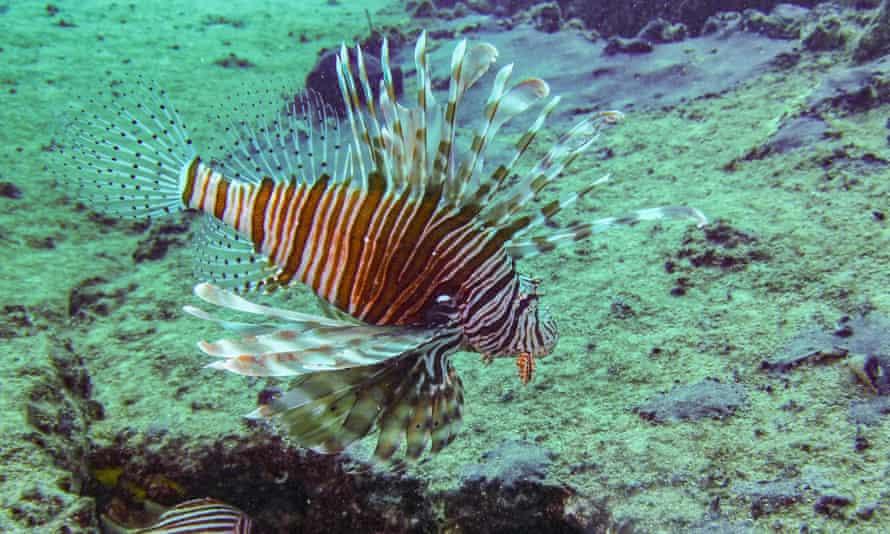 A lionfish (Pterois miles)