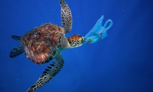 A sea turtle eats a plastic shopping bag. Plastic bags and other plastic garbage are often ingested by marine animals confusing it with food.