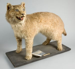 Missing lynx: a specimen donated to Bristol Museum in 1903.