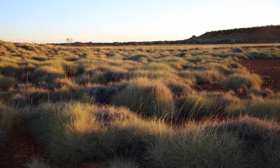 Spinifex vegetation in Queensland, Australia