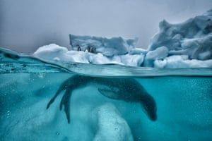 A leopard seal patrols the ice while penguins huddle for safety out of the water in Antarctica