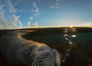Walrus in Midnight Sun by Audun Rikardsen Walrus feed mostly on bivalves in productive, shallow and often sandy habitats in the Arctic. This individual, though, arrived on a beach outside Tromsø, northern Norway, and found comfort on a stranded dead sperm whale. After two weeks he approached Audun, and only half a metre away he stretched his tusk forward and touched his hand gently. 'This was one of the most memorable moments of my life,' Rikardsen says. He named the 500kg male Buddy. After two months, the dead whale was decomposed and Buddy suddenly disappeared.
