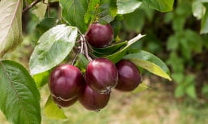 Mixed fruit: crab apples – plant with a partner tree (or two).