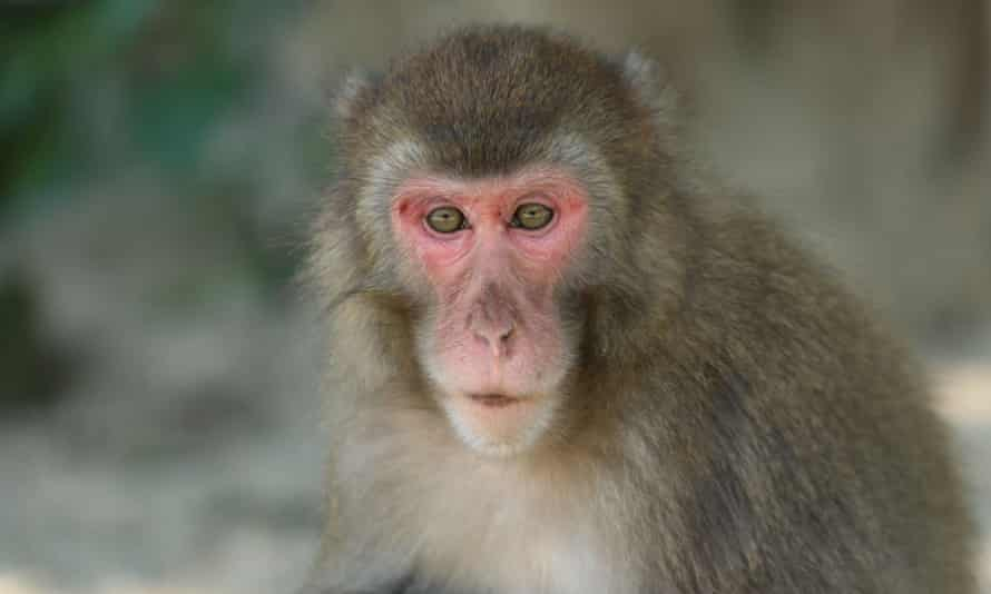 Nine-year-old female known as Yakei, pictured, has become the boss of a 677-strong troop of Japanese macaque monkeys at a nature reserve on the island of Kyushu in Japan.