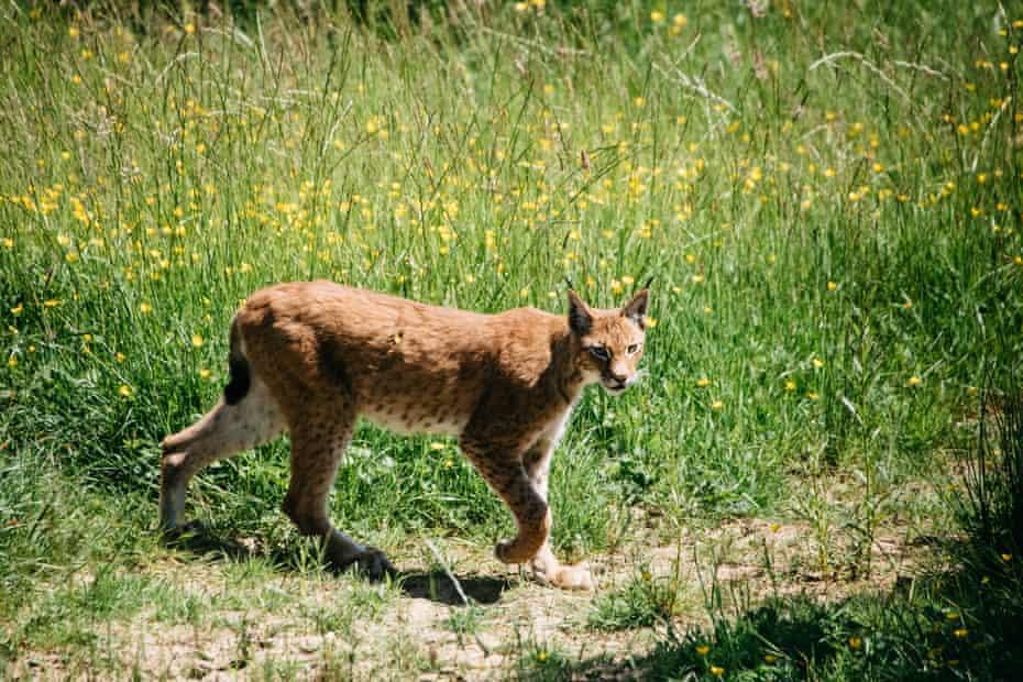 One of the lynxes on Gow's farm in Devon.
