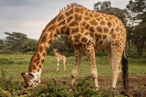 Rothschild giraffe are one of the most endangered giraffe subspecies, with only a few hundred left in the wild. There are more Rothschild giraffes kept in zoos than left in the wild