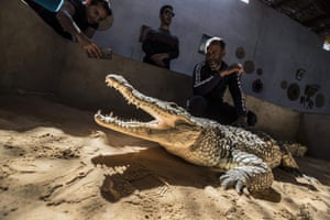 The naturally aggressive nature of crocodiles is tamed by being kept in captivity