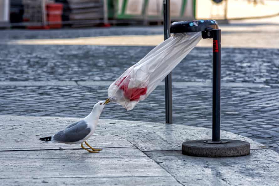 A hungry seagull tries to open up a garbage bag at via Fori Imperiali, Rome, Italy, 9 April 2020.