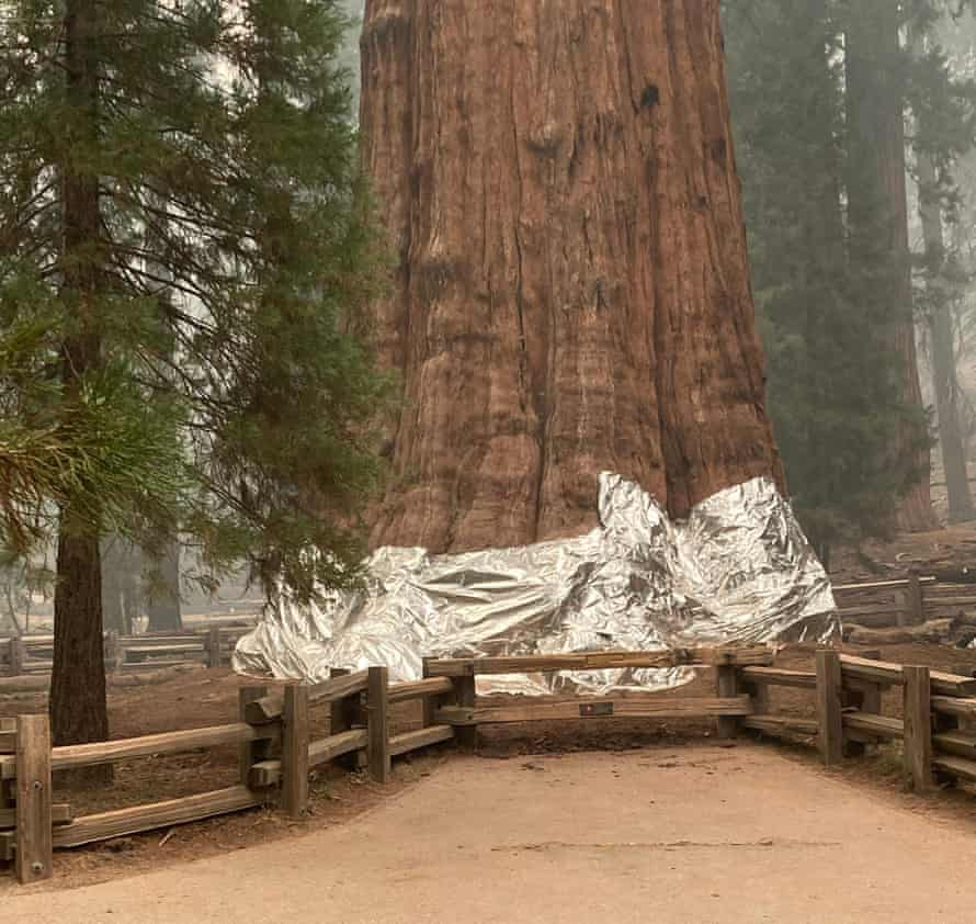 Firefighters have wrapped the historic General Sherman Tree, estimated to be around 2,300 to 2,700 years old, with fire-proof blankets in Sequoia National Park, California.