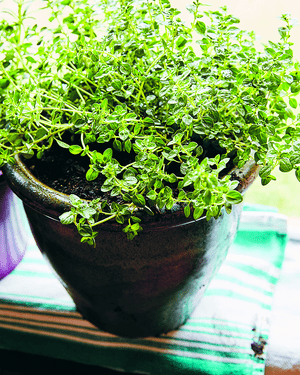 A pot of oregano growing on a window sill.