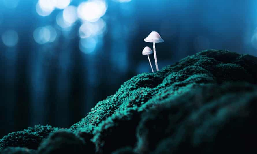 Magic mushrooms grow on moss in twilight forest