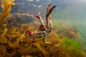 A spiny king crab in the Sea of Okhotsk, off the shore of the Khabarovsk territory, on Russia's Pacific coast.