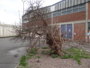 Mulberry bush, HMP Wakefield, West Yorkshire. It is thought that it is the mulberry bush where the nursery rhyme 'Here We Go Round the Mulberry Bush' has its origins. When the prison was a House of Correction, women prisoners used to dance around the tree with their children, and invented the rhyme to keep the children amused. The original tree is still in the centre of what was the exercise yard.
