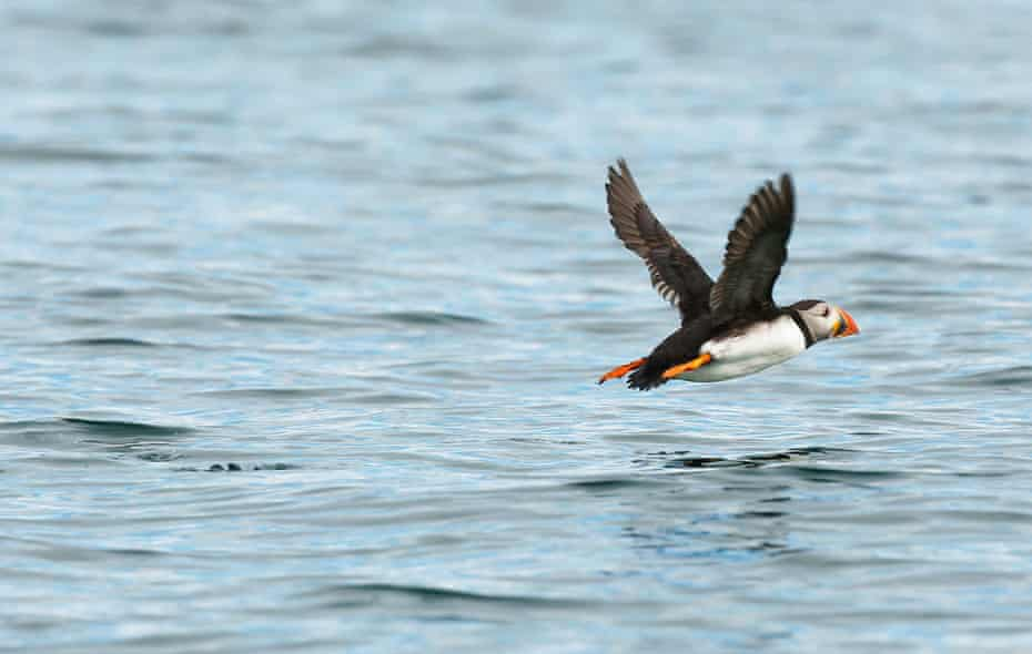 Puffins fly thousands of miles in migration