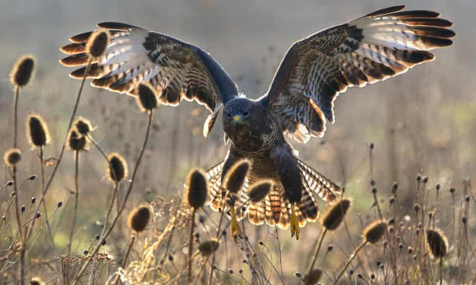 A Common Buzzard with wings spread