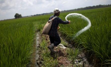 Rice plantation in Venezuela